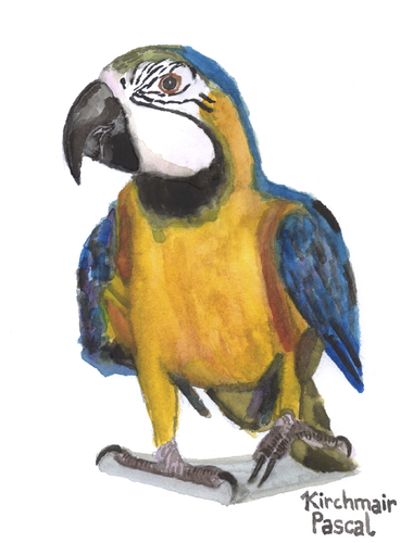 Cartoon: Ara ararauna (medium) by Pascal Kirchmair tagged papagei,aquarell,watercolour,gelbbrustara,ara,ararauna,blue,and,yellow,macaw,painting,zeichnung,illustration,peinture,papagei,aquarell,watercolour,gelbbrustara,ara,ararauna,blue,and,yellow,macaw,painting,zeichnung,illustration,peinture
