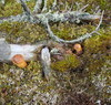 Cartoon: Wood gobblin portrait (small) by Kestutis tagged kestutis,lithuania,wood,gobblin,nature,portrait