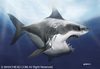 Cartoon: White Shark (small) by manohead tagged caricatura,caricature,manohead